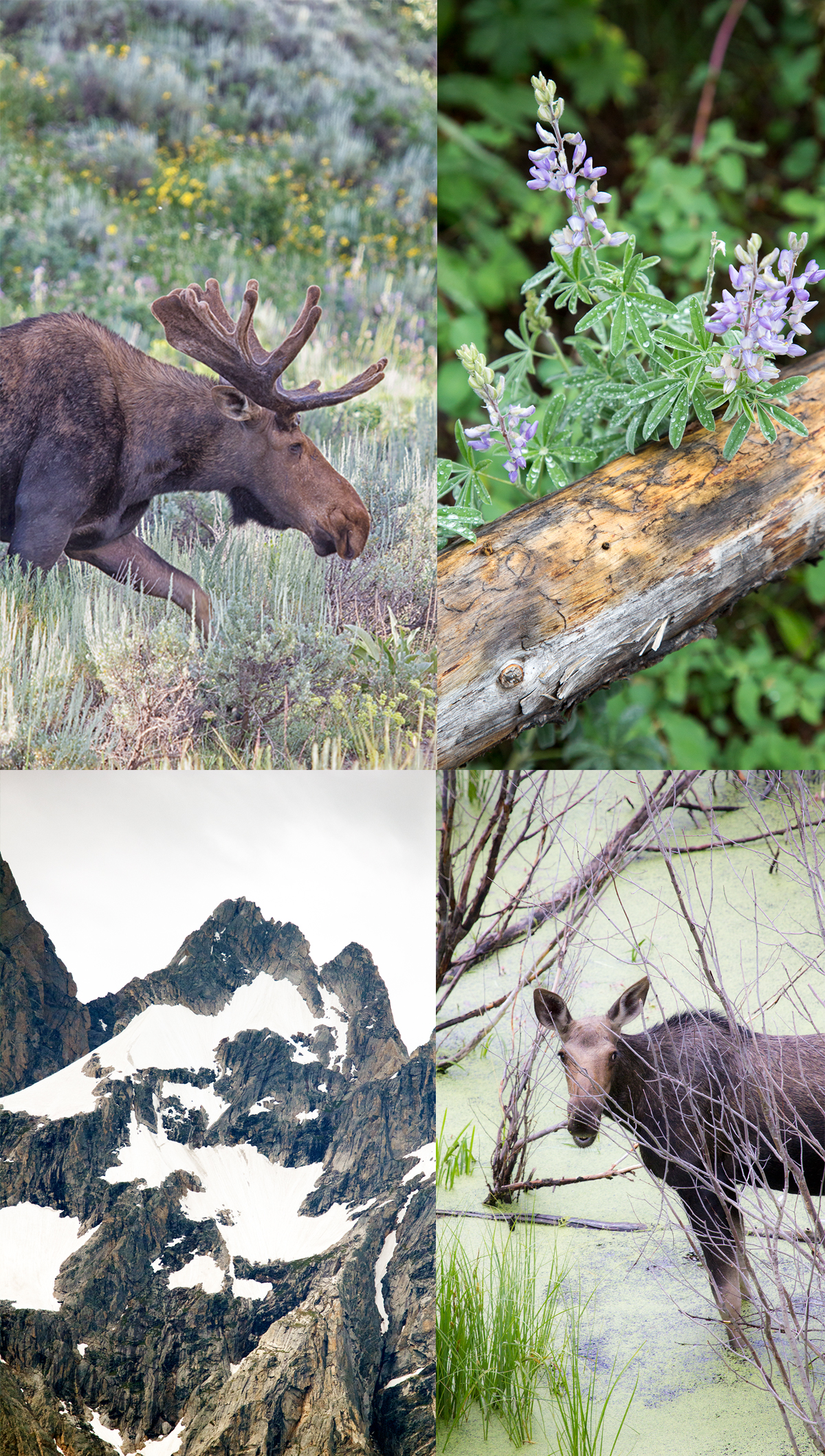 Bull Moose in Grand Teton National Park with Jackson Wildlife Safari Tour