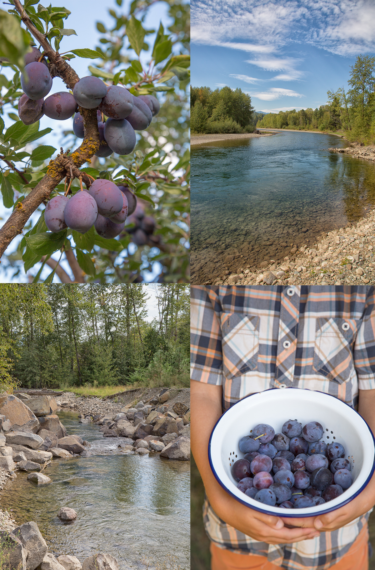 plum picking in eastern washington
