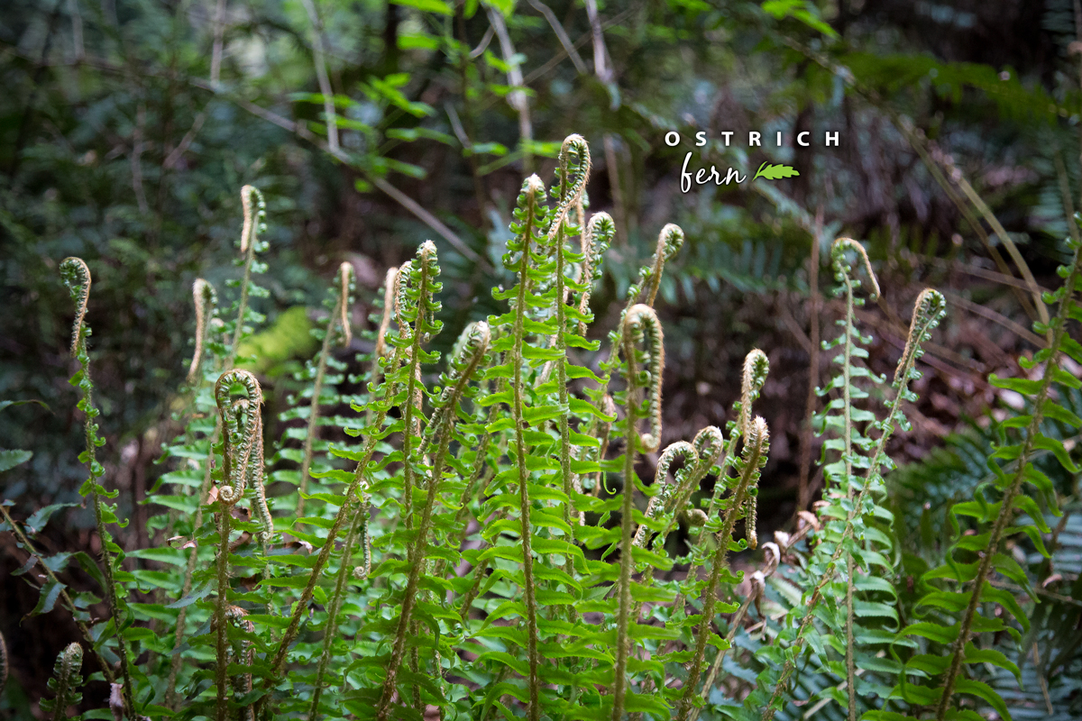 Ostrich Fern via J5MM.com