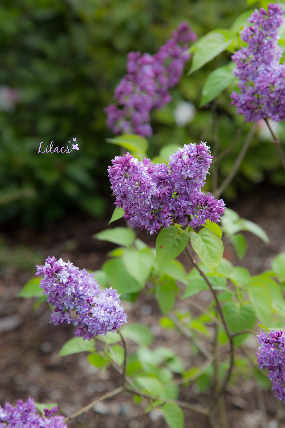 Lilacs in the forest via J5MM.com