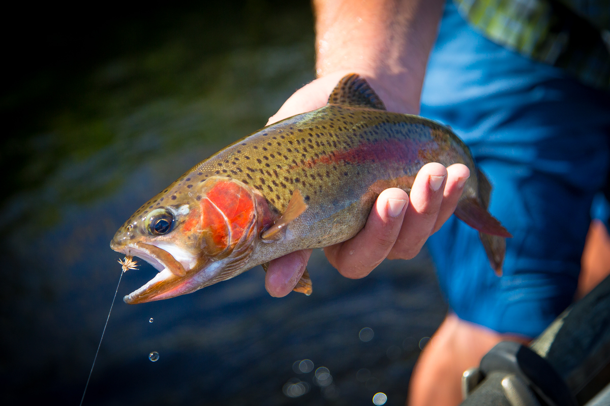 Native Idaho Redband Trout in with Deschutes River Outfitters via J5MM.com