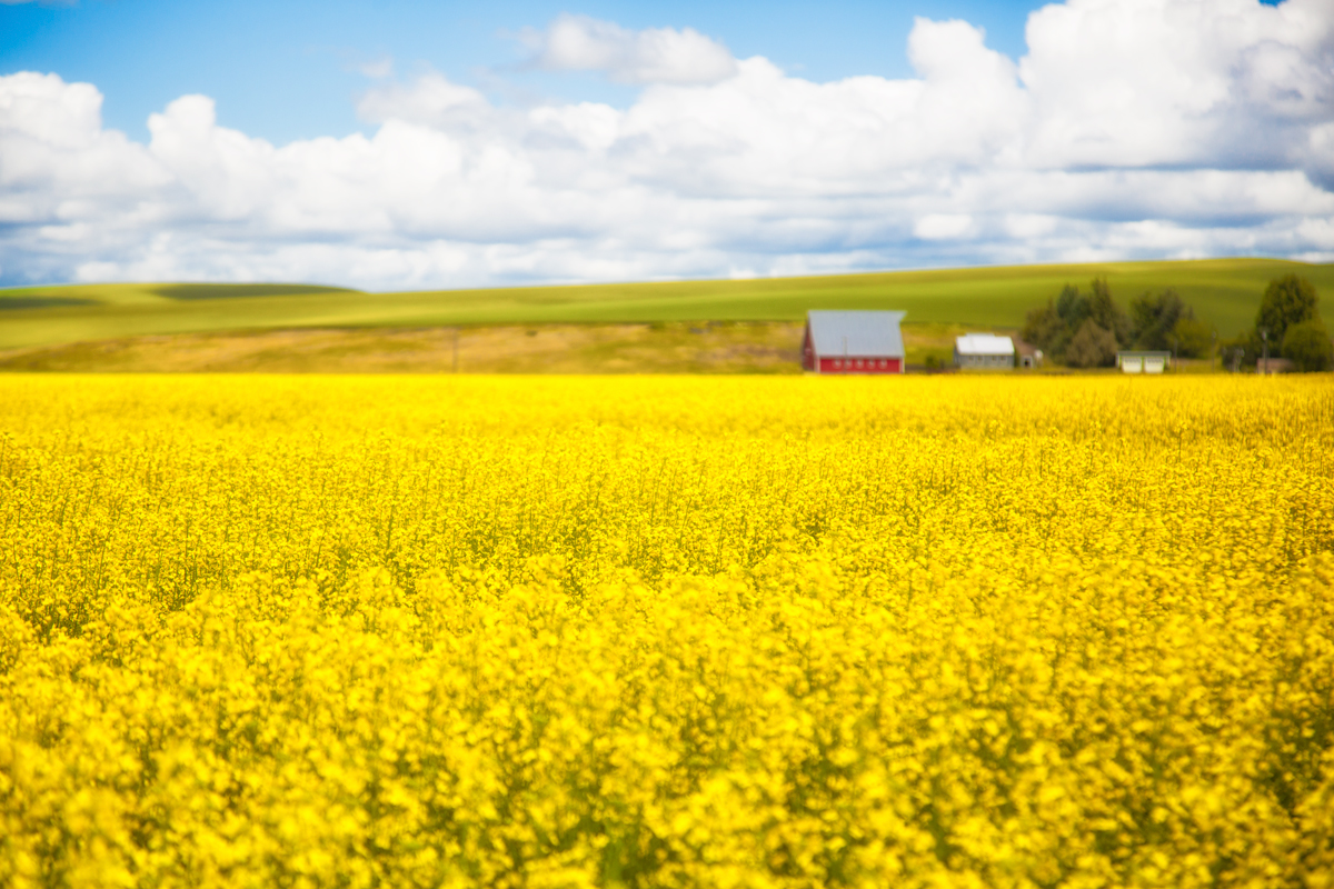 Canola Fields with Barn in Eastern Washington via J5MM.com