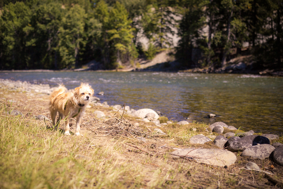 River dog on the Cle Elum River, Washington
