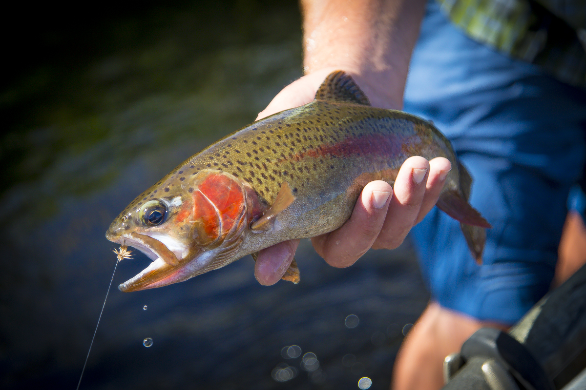 Red Band Trout with Deschutes River River Outfitters via J5MM.com
