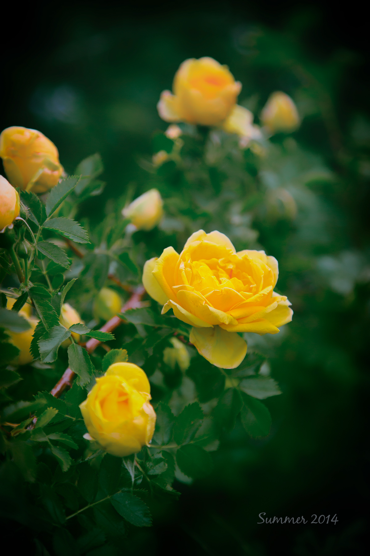 Yellow Summer Roses via J5MM.com
