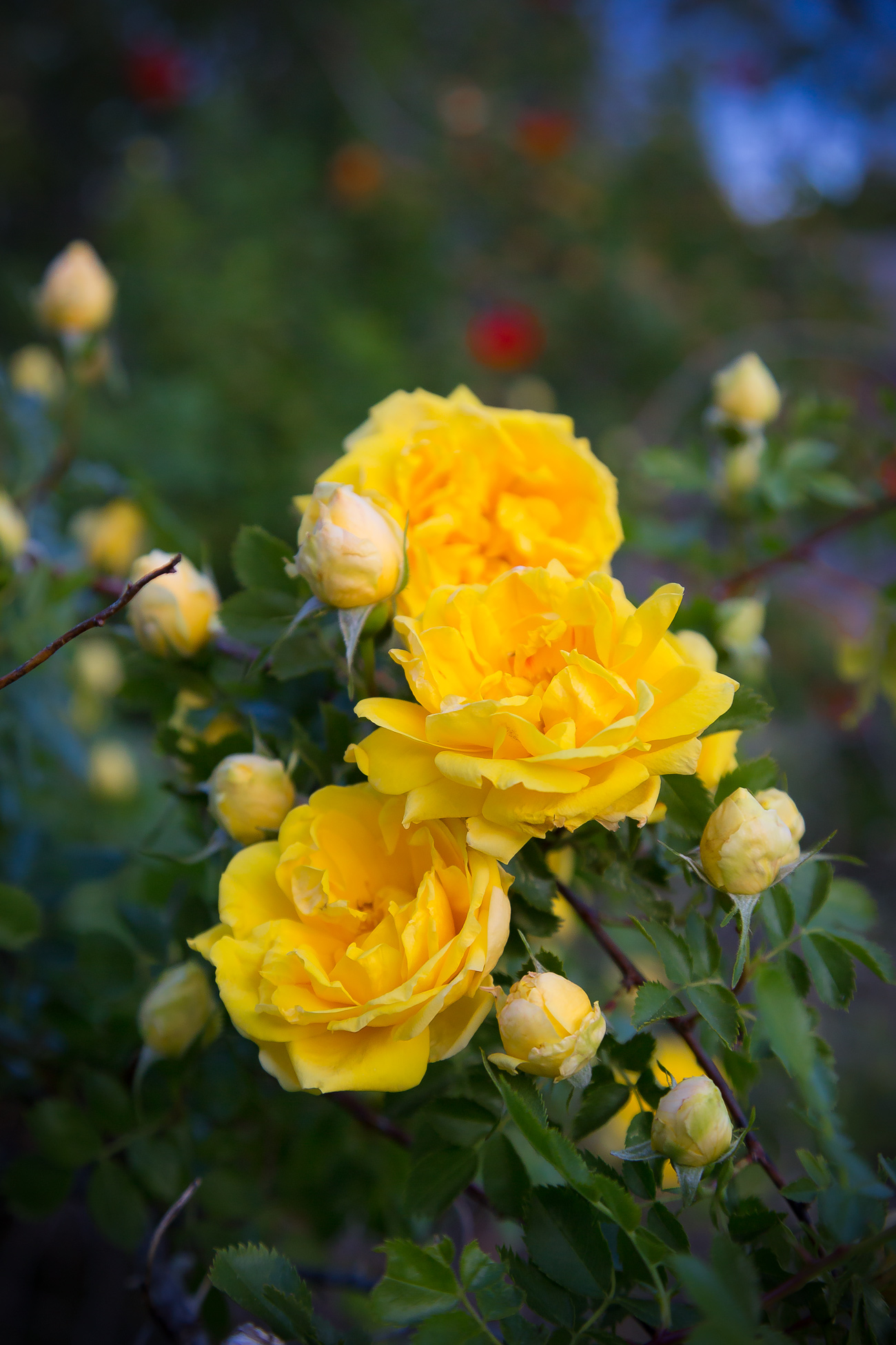 Yellow Country Roses via J5MM.com