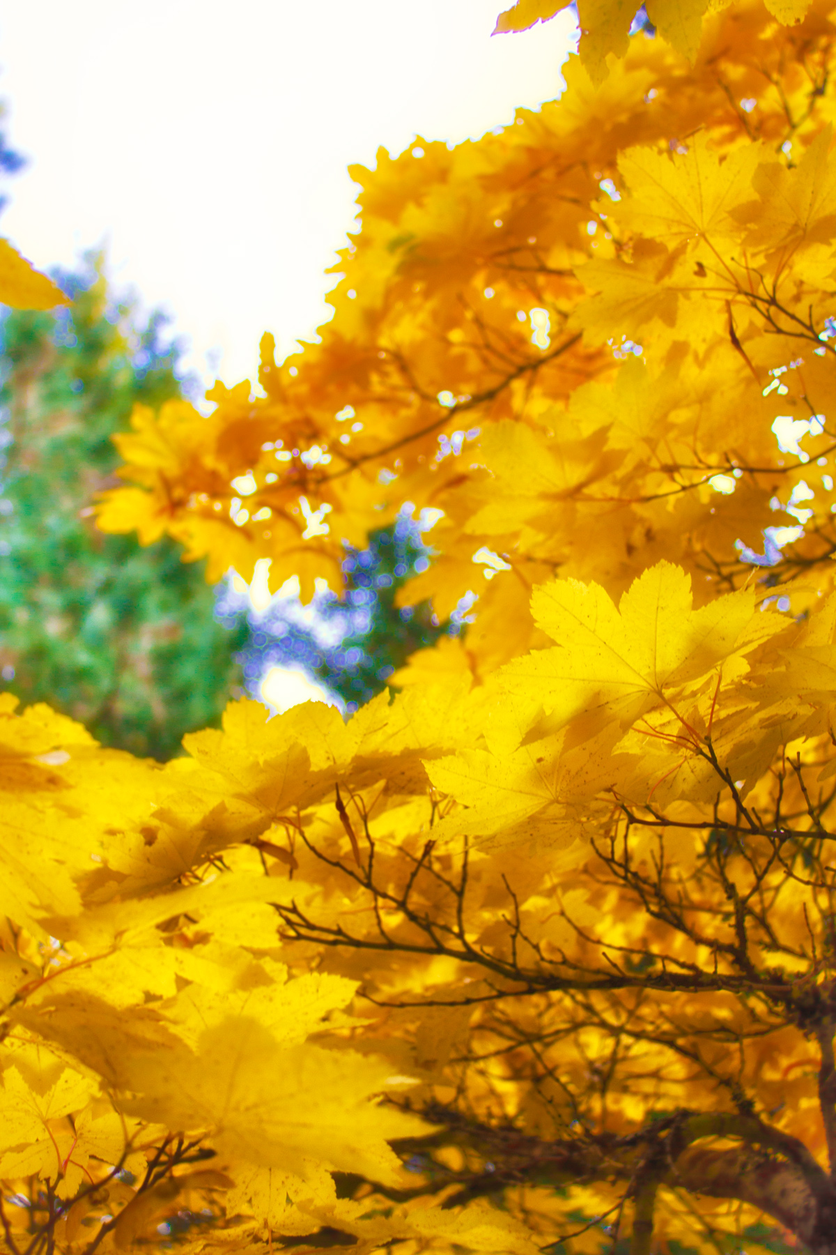 Golden Leaves via J5MM.com
