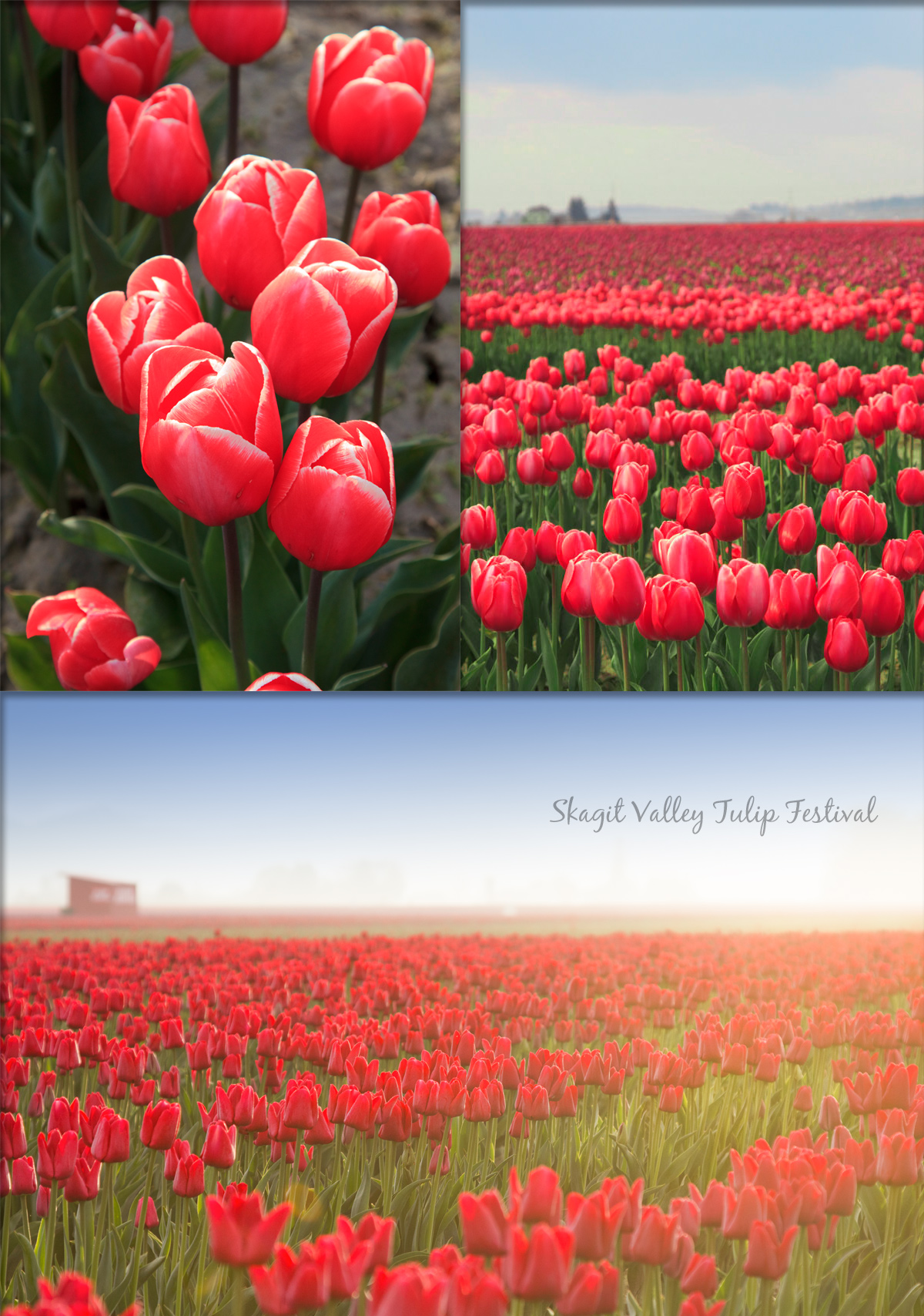 Skagit Valley Tulip Festival 2015 via J5MM.com // Airstream Road Trip to Thousand Trails in LaConner, WA