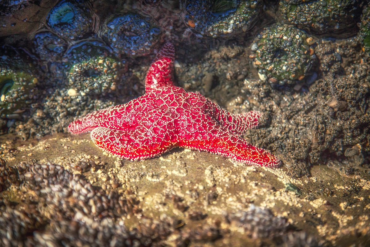 Sea Star at Beach 4 // Olympic Peninsula, WA State via J5MM.com