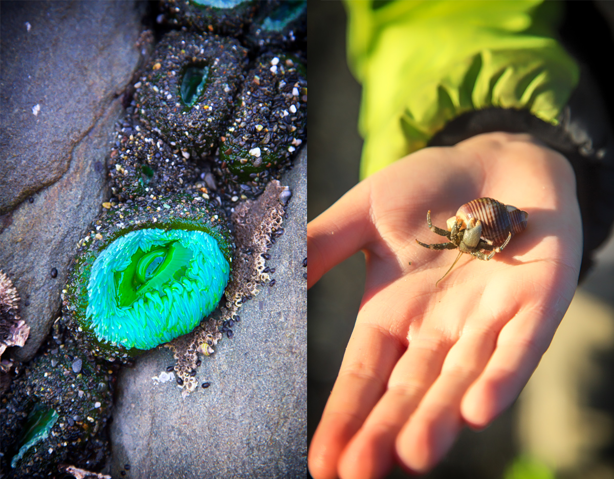 Sea Anemone and Hermit Crab at Beach 4 on the Olympic Peninsula via J5MM.com // #Airstream