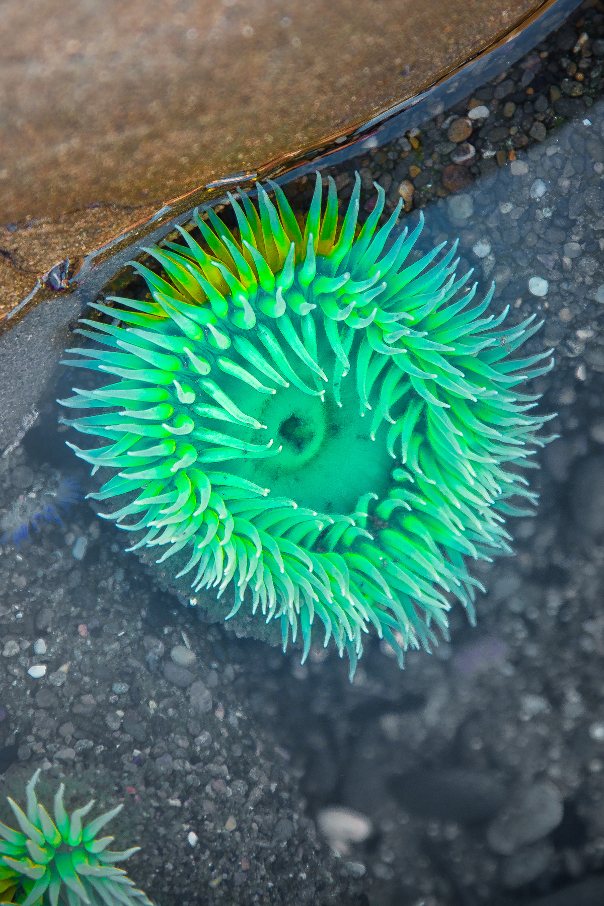 Beautiful Green Sea Anemone at Beach 4 on the Olympic Peninsula of Washington State via J5MM.com